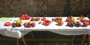 tomates_segovia_ivs
